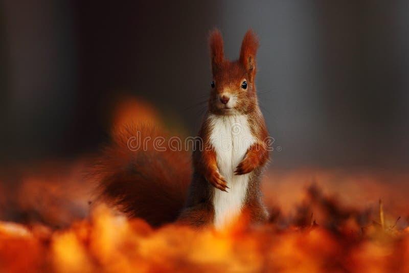 与长的针对性的耳朵的逗人喜爱的红松鼠在背景中吃在秋天橙色场面的一枚坚果与好的落叶林,暗藏  免版税库存图片