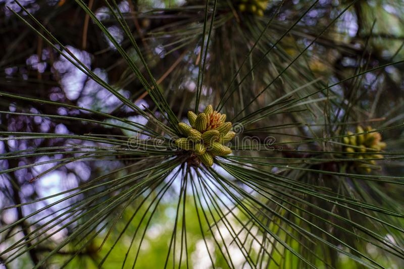 与长的针的杉木分支和新的绿色年轻锥体的形成在春天在森林关闭 图库摄影