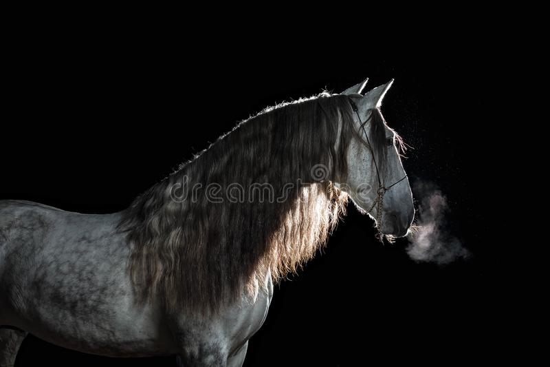 与长的鬃毛和蒸汽的画象安达卢西亚的公马从在黑背景的一张嘴与后面照明设备 免版税库存图片