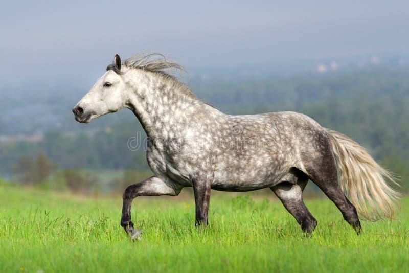 与长的鬃毛奔跑的马 免版税库存图片