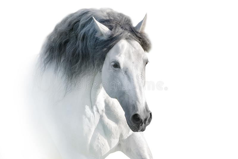 与长的鬃毛画象的白马 免版税库存图片