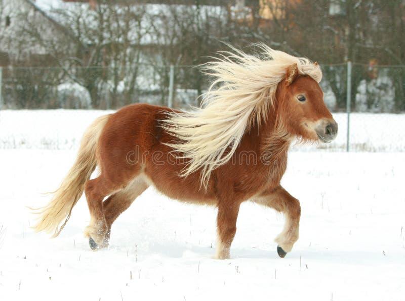 与长的鬃毛的华美的舍特兰群岛小马在冬天 免版税库存图片