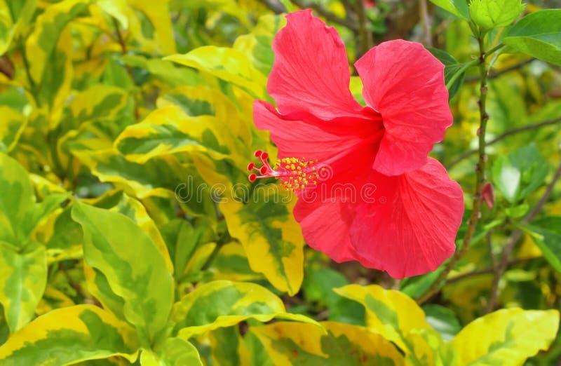 与长的黄色的红色木槿pillen或开花在庭院背景中的Chaba花 免版税库存图片