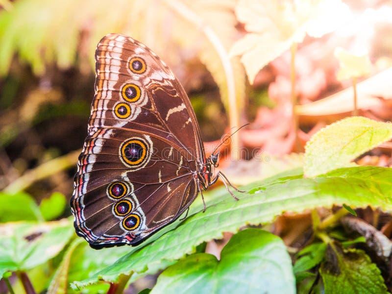 与闭合的翼的蓝色morpho蝴蝶坐一片绿色叶子 免版税库存图片