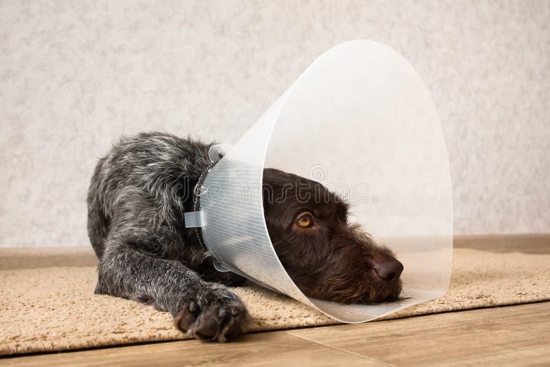 与防护伊丽莎白女王的衣领的狗 图库摄影