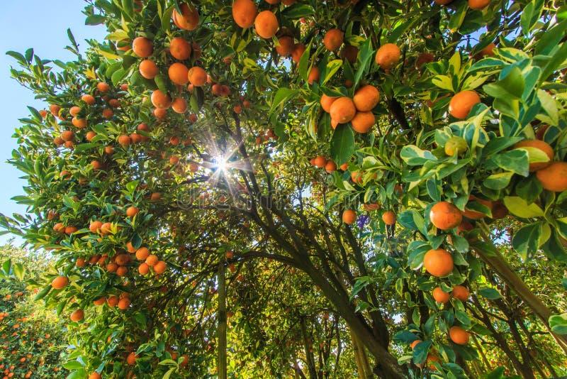 与阳光低谷的橙树 库存照片