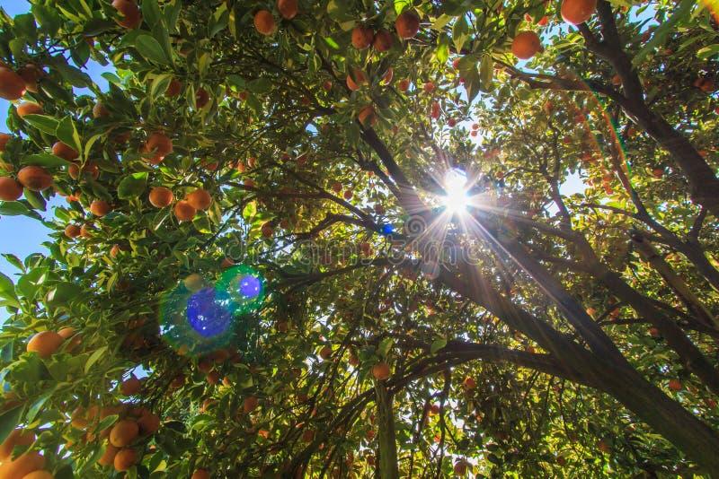 与阳光低谷的橙树 库存图片