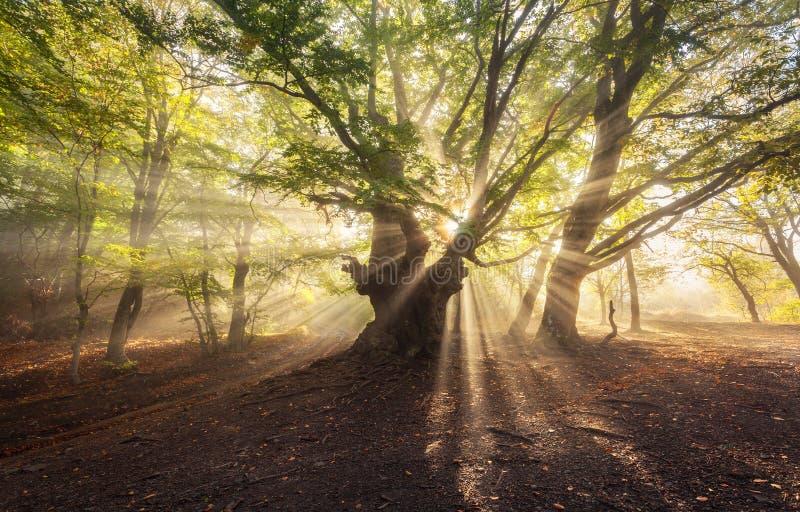 与阳光的不可思议的老树早晨 有雾的森林 免版税库存照片