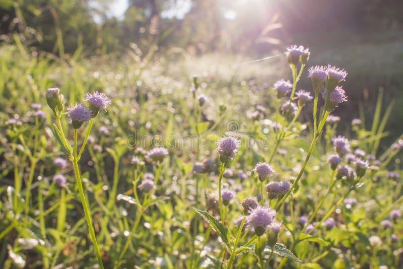 与阳光的紫色草花特写镜头在自然背景中 库存图片