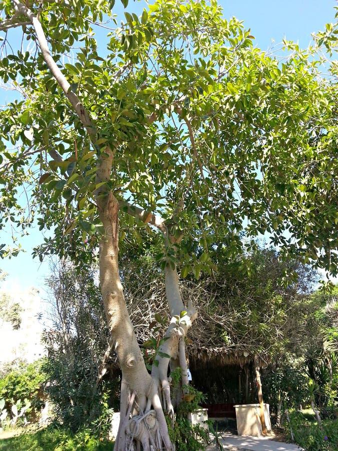 与阳光的绿色树对此 库存图片