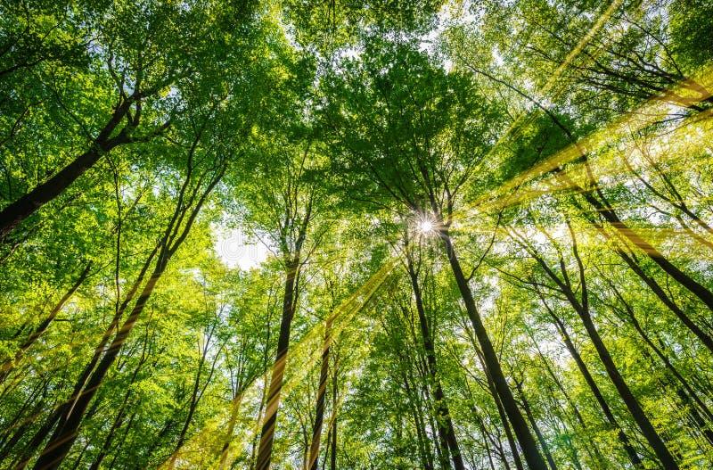 与阳光的绿色自然林木通过树梢发光 免版税库存照片