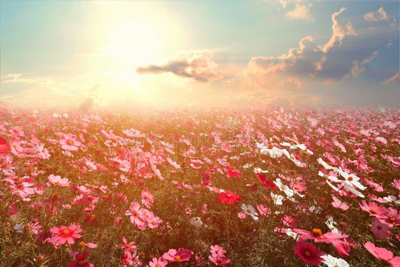 与阳光的美好的桃红色和红色波斯菊花田 库存图片