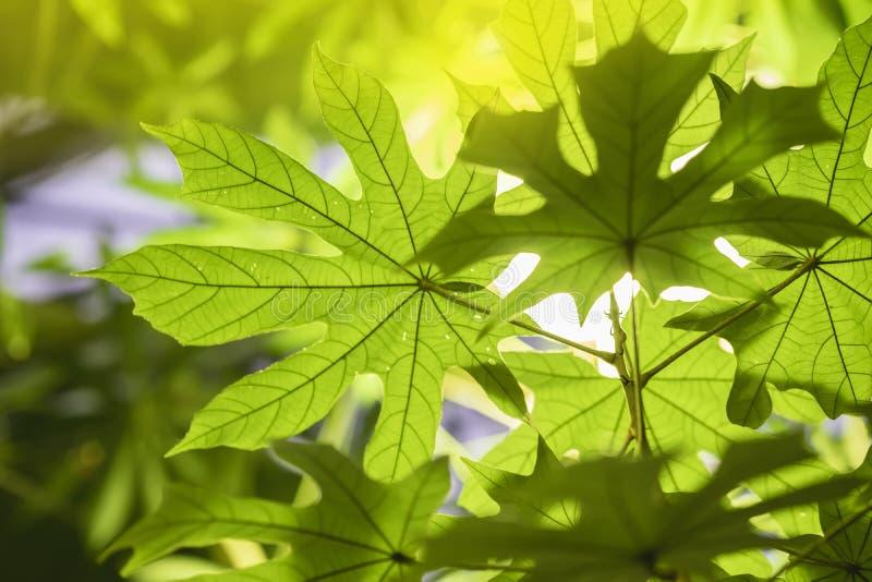 与阳光,阳光,透明叶子,自然纹理,异乎寻常的五颜六色的背景的热带绿色叶子特写镜头 免版税库存图片