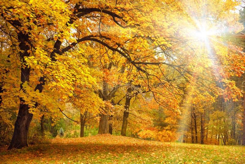 与阳光/美丽的树的金子秋天在森林里 免版税库存图片