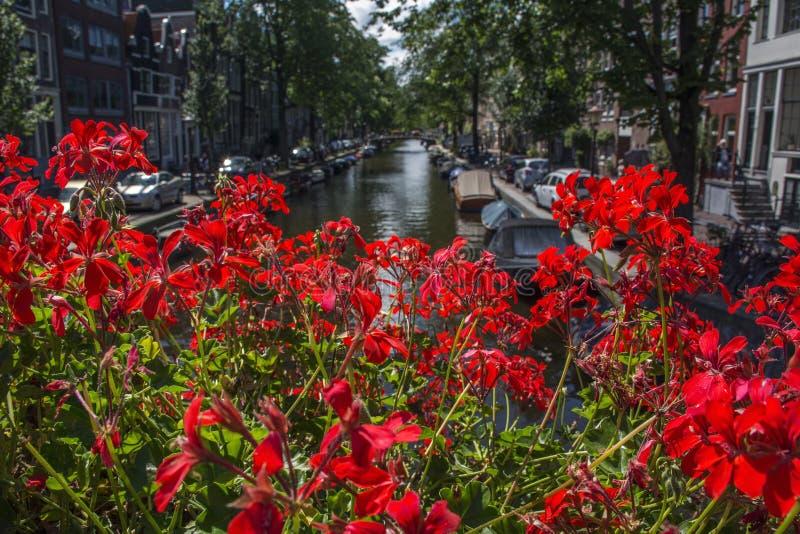 与阿姆斯特丹运河的许多红色花 库存图片