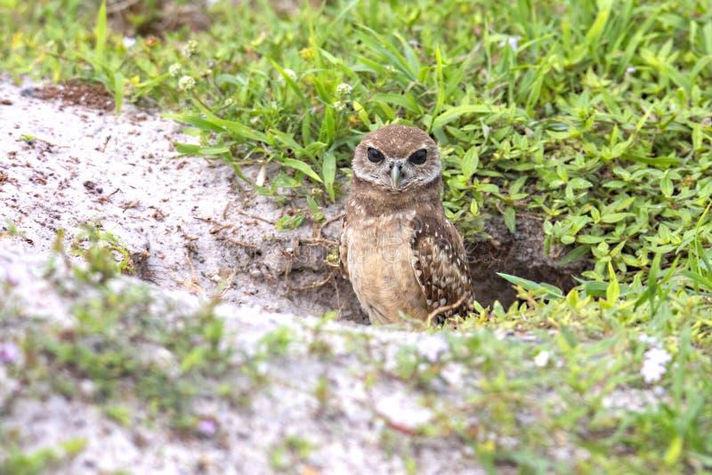 与隐藏从它的洞穴出来的布朗眼睛的少年挖洞的猫头鹰 免版税库存照片