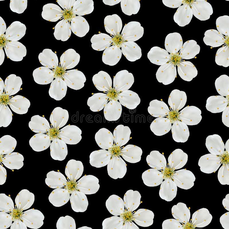 无缝图案 黑色背景中的白樱桃花 免版税库存照片
