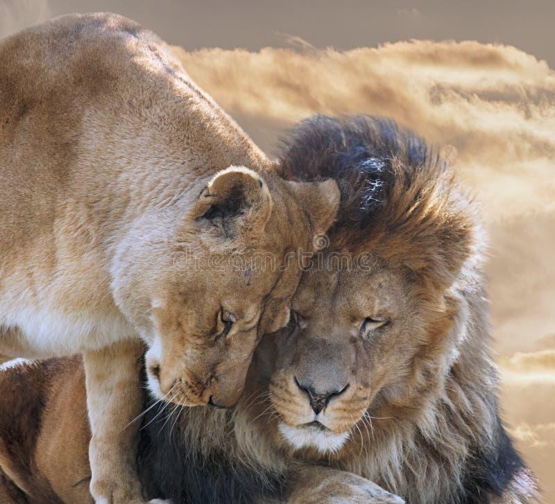 与雌狮的狮子 免版税库存照片
