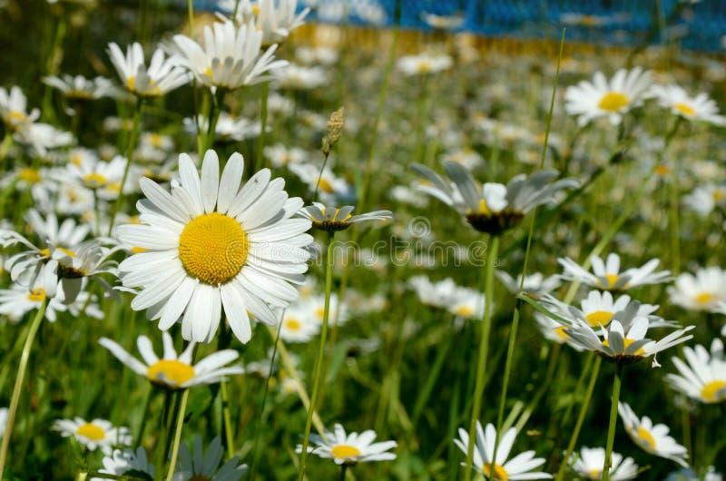 与雏菊的不可思议的春天风景在草坪在一个晴天 免版税库存照片
