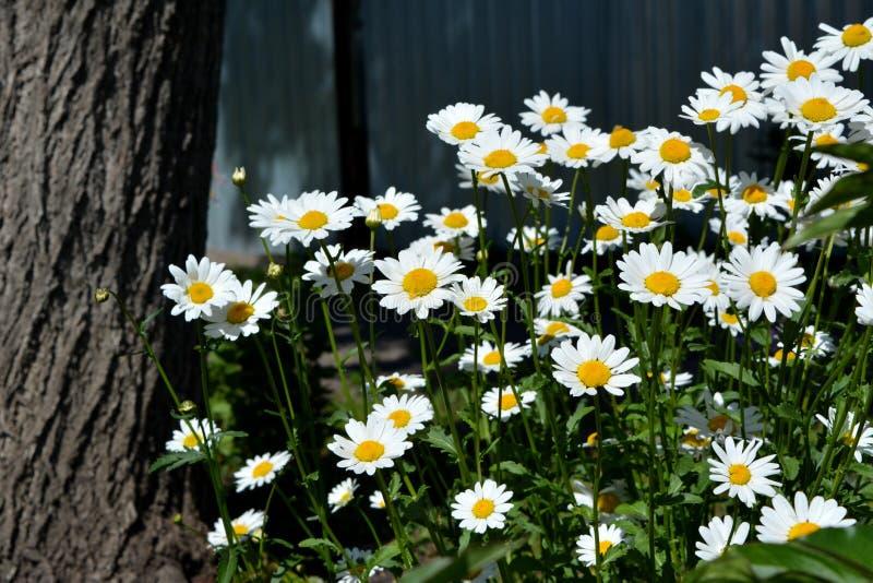 与雏菊的花床临近树干 城市绿化 免版税库存图片