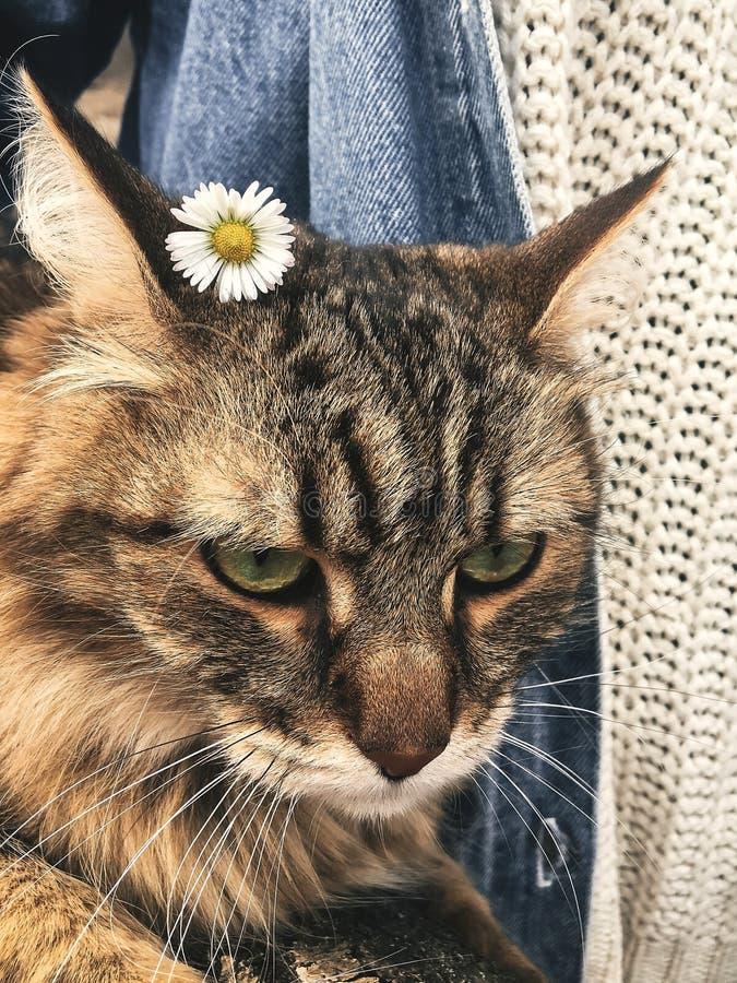 与雏菊的逗人喜爱和滑稽的猫在他的耳朵 恼怒的平纹缅因浣熊 库存照片