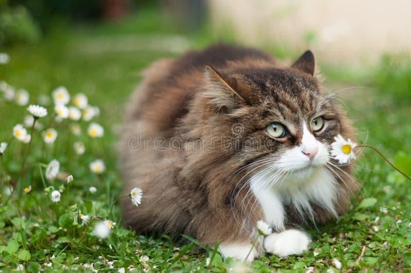 与雏菊的逗人喜爱的蓬松猫 库存照片
