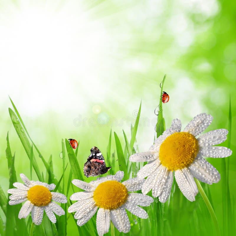 与雏菊的满地露水的绿草 免版税库存照片