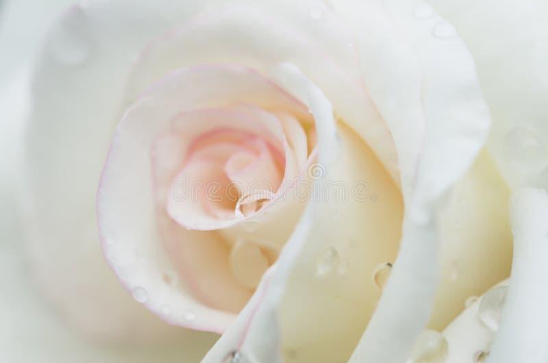 与雨下落的华美的白色玫瑰 免版税库存图片