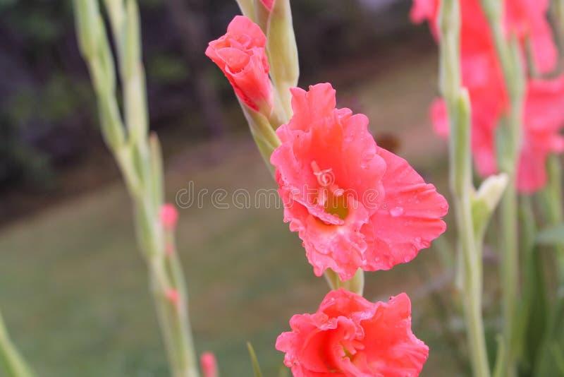 与雨下落的桃红色剑兰花在瓣 免版税库存照片
