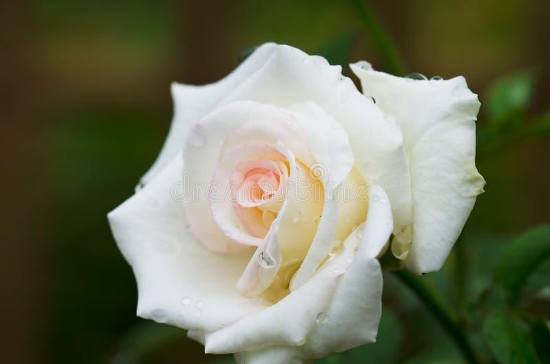 与雨下落的白色玫瑰 免版税库存照片