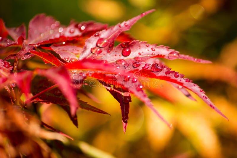 与雨下落的红槭 免版税库存照片