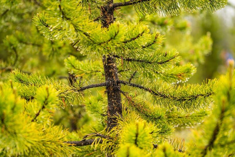 与雨下落的绿色杉木分支 库存图片