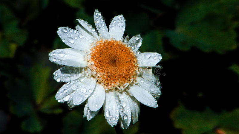 与雨下落2的延命菊 图库摄影
