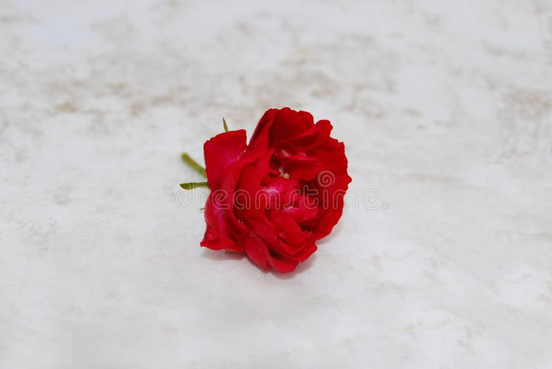 与雨珠的伯根地玫瑰色花在石头说谎 免版税库存图片