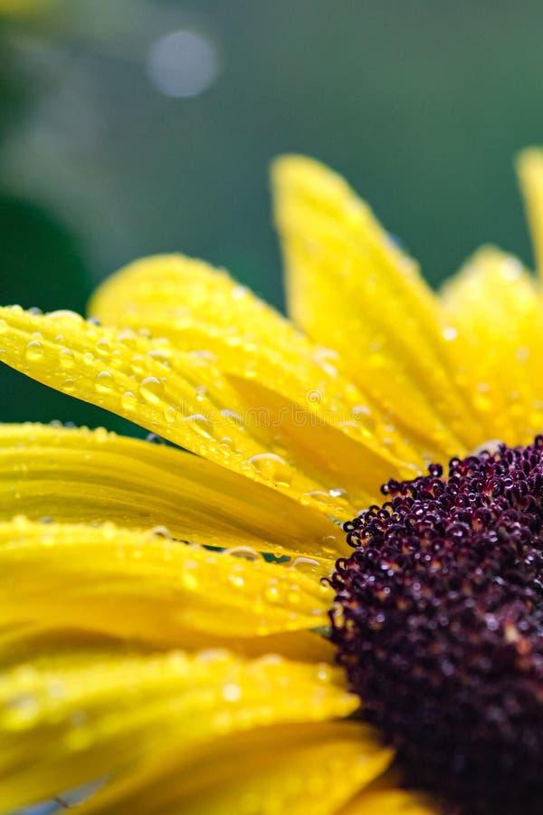 与雨珠的宏观黄色向日葵 免版税图库摄影