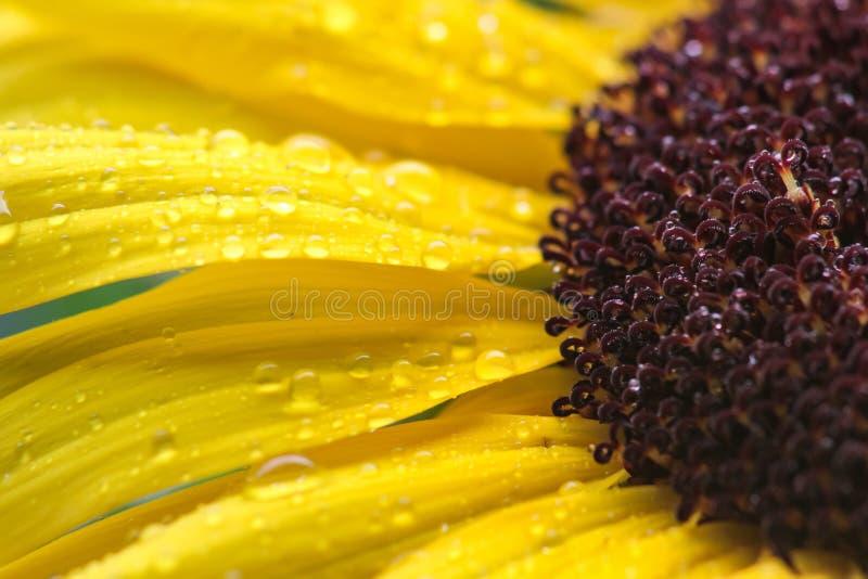 与雨珠的宏观黄色向日葵 库存图片