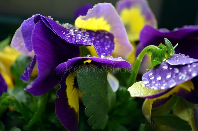 与雨珠的宏观紫色报春花 免版税库存图片