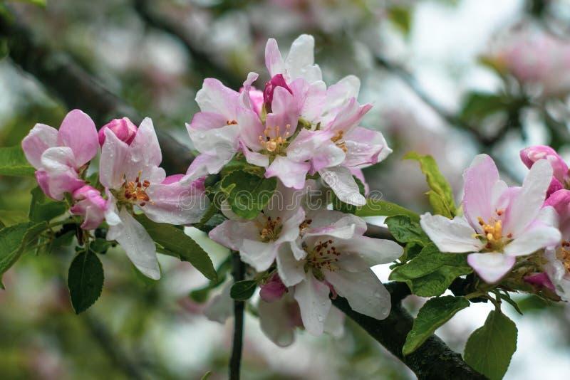 与雨珠的开花的苹果树在雨以后 庭院果树开花 在樱桃树branc的白色和桃红色花特写镜头 免版税库存照片