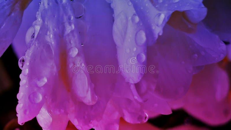 与雨珠的美丽的桃红色紫色花关闭  免版税库存照片