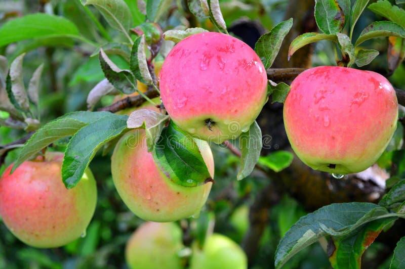 与雨珠的鸡尾酒苹果 免版税库存照片