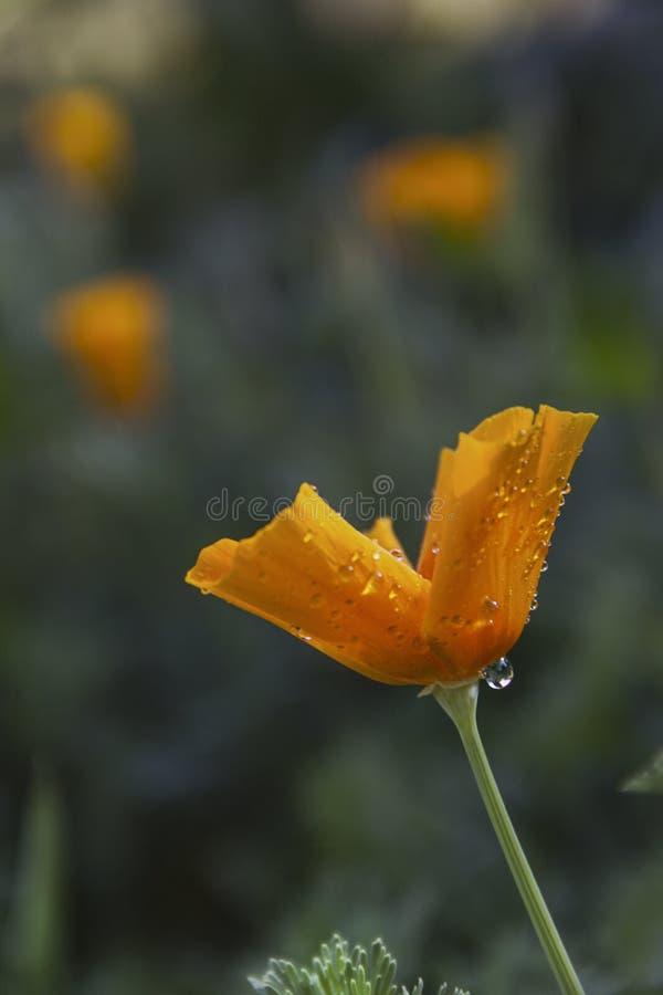 与雨珠的黄色花在庭院里 免版税库存图片