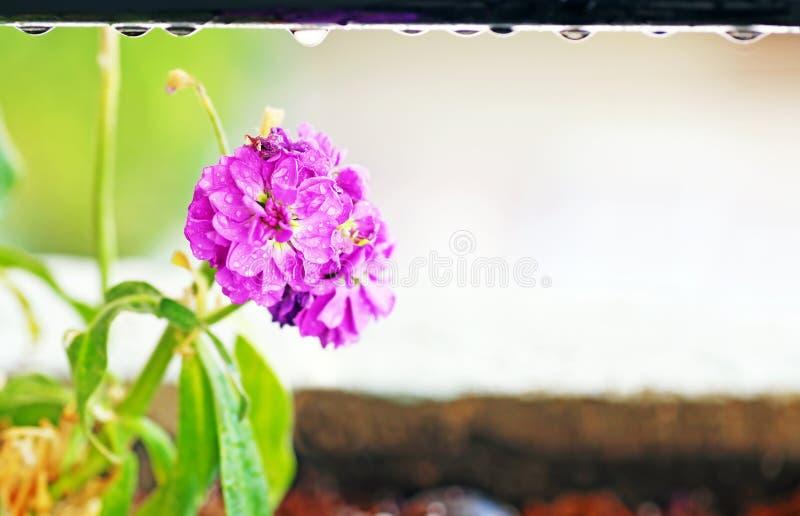 与雨珠-接近的花的开花的湿紫色花-春天自然 库存图片