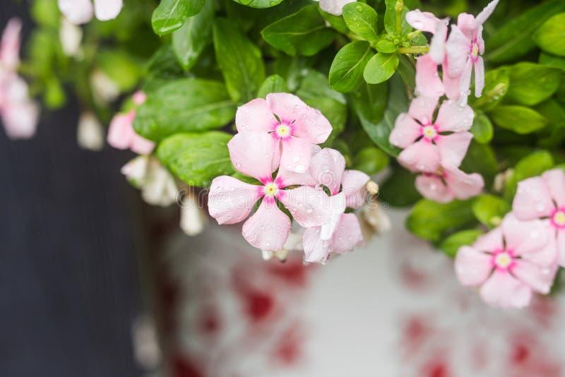 Download 与雨的花在庭院,西部印地安荔枝螺,长春花属roseus,长春蔓花, Bringht眼睛里滴下 库存图片 - 图片 包括有 药物, 抽象: 72355347
