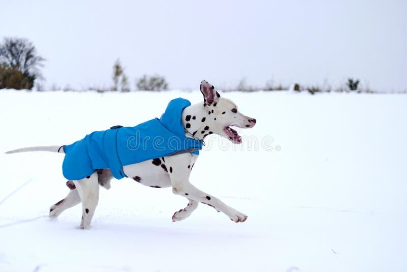 与雨衣,使用和赛跑的达尔马希亚狗在雪 免版税库存照片