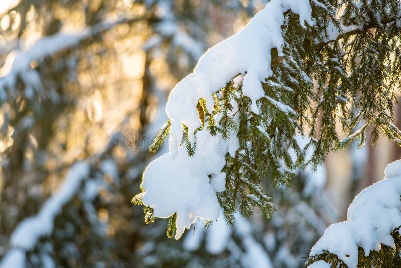 与雪的杉树特写镜头 免版税库存照片