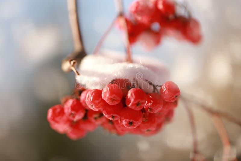 与雪的花楸浆果群 图库摄影