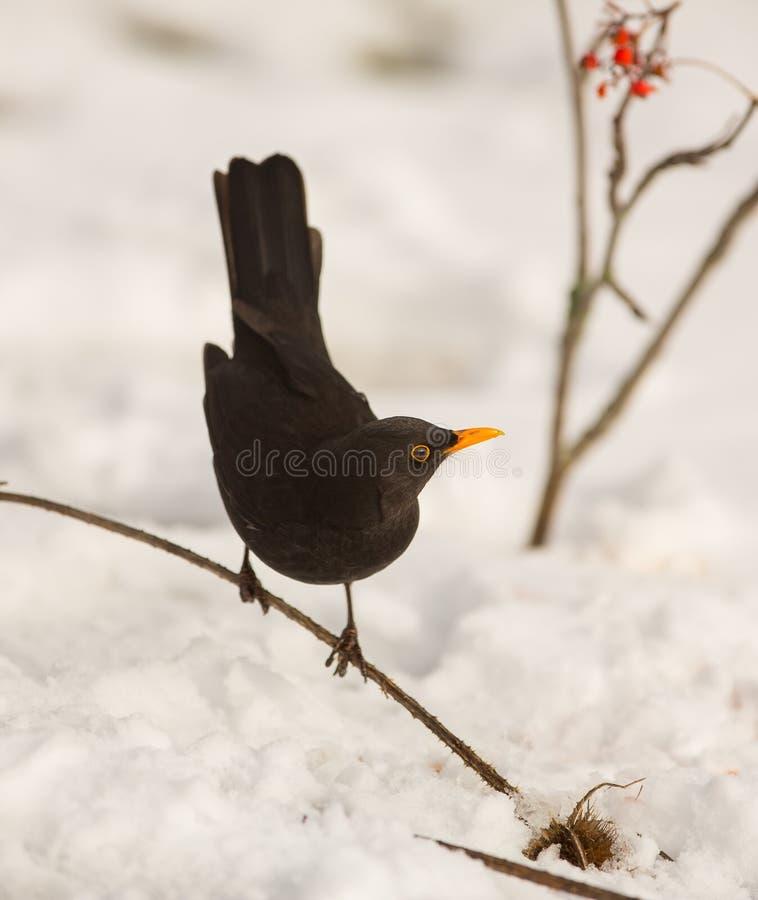 与雪的黑鹂 库存照片