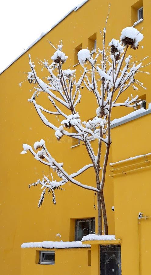 与雪花和黄色大厦的斯诺伊灌木 免版税库存图片