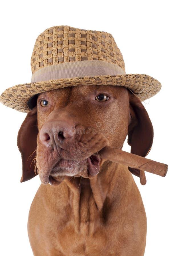 与雪茄的狗在嘴 免版税库存图片