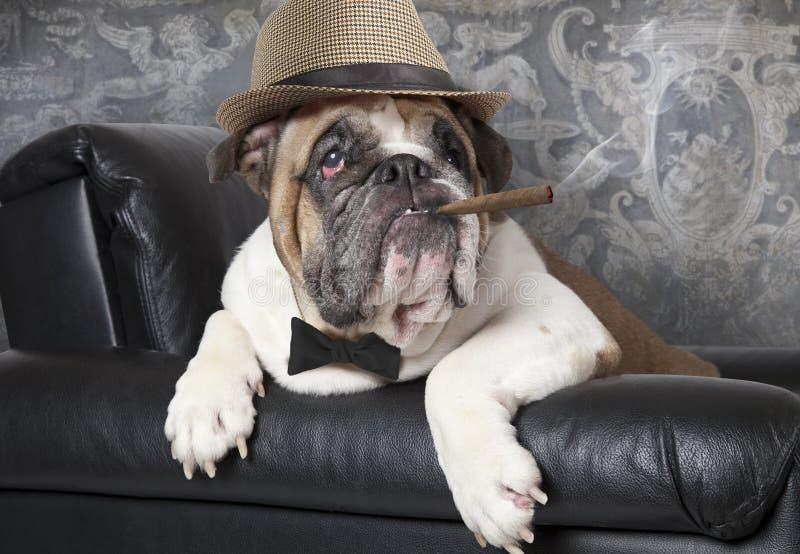 与雪茄的英国牛头犬 库存图片